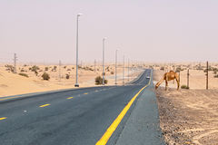 Kameel op een woestijnweg Stock Fotografie