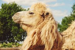 Kameel op groen gras, de zomer Royalty-vrije Stock Foto's