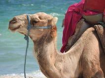 Kameel op het strand in Tunesië, Afrika op een duidelijke dag tegen het blauwe overzees stock foto