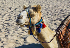 Kameel op Jumeirah-Strand in Duba Stock Fotografie