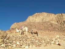 Kameel op mountian van Mozes Stock Foto's