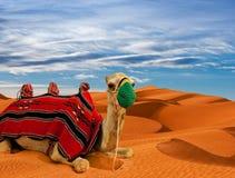 Kameel op zandduinen in de woestijn Stock Afbeelding