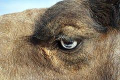 Kameel` s oog en hoofd Stock Foto