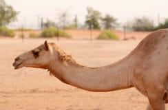 Kameel in Verenigde Arabische Emairates Stock Foto