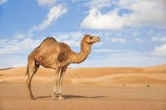 Kameel in Wahiba Oman Royalty-vrije Stock Fotografie
