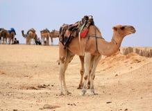 Kameel in woestijn Royalty-vrije Stock Foto's