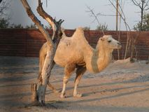 Kameel in woestijn stock foto