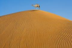 Kameel in woestijn royalty-vrije stock afbeelding