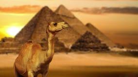 Kameel in woestijn stock footage