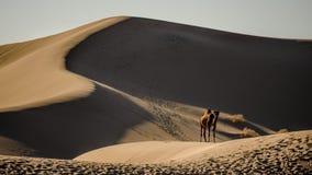 Kameel in woestijn Stock Afbeelding