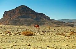 Kameel in woestijn royalty-vrije stock fotografie