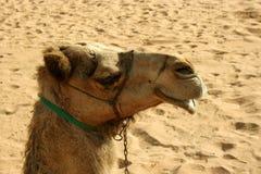 Kameel in woestijn, Doubai Royalty-vrije Stock Foto