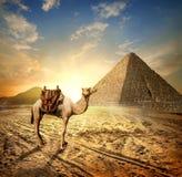 Kameel in woestijn Egypte royalty-vrije stock foto's