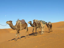 Kameelcaravan in woestijn stock fotografie