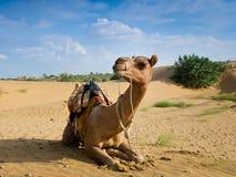 Kameelzitting op een woestijn met blauwe hemel op de achtergrond Royalty-vrije Stock Afbeeldingen