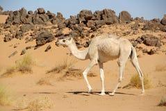 kamelöken libya arkivfoton