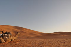 kamelöken sahara Arkivbilder