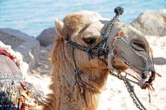 Kamel in Ägypten lizenzfreie stockfotografie
