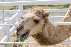 Kamel äter en äng arkivfoto