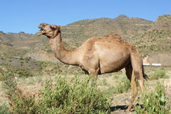 Kamel, Äthiopien, Afrika lizenzfreie stockfotografie