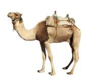 Kamel über Weiß Lizenzfreie Stockfotos