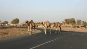 Kamel-Überfahrt: Passen Sie von den losen Kamelen nahe der Kamelrennstrecke auf stock video
