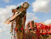 Kamel Stockfoto