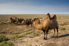 Kamel stockbild