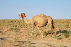 Kamel. lizenzfreies stockfoto