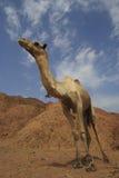Kamel lizenzfreies stockfoto