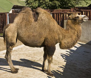 kamel Arkivbild