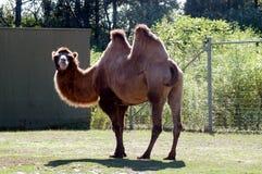 kamel 2 Arkivfoton