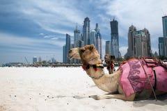Kamel. Stockfoto