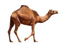 Kamel Stockfotografie
