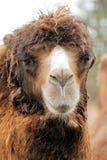Kamel lizenzfreie stockfotografie
