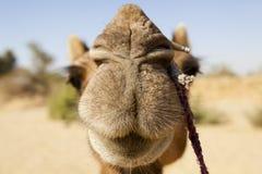 Kamel. Fotografering för Bildbyråer