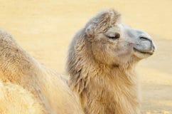 Kamel Stockfotos