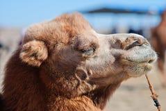 Kamel royaltyfria foton