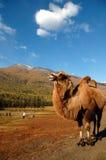 Kamel 免版税图库摄影