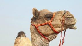 Kamel stock footage