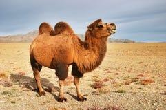 Kamel Stockbilder