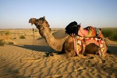 Kamel lizenzfreie stockfotos