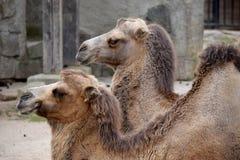 Kamel Arkivfoton