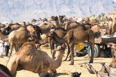 Kamel angemessen, Pushkar, Indien. stockbild