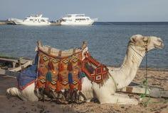 Kamel auf dem Strand Stockfoto