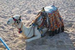 Kamel auf dem Strand im Sharm el Sheikh Stockbilder