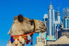 Kamel auf Jumeirah-Strand in Duba Lizenzfreies Stockbild