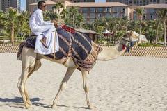 Kamel auf Jumeirah-Strand in Duba Lizenzfreie Stockfotos