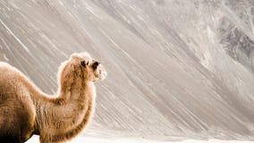Kamel auf sandigem Hintergrund Lizenzfreie Stockbilder