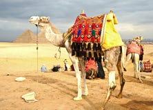 Kamel auf Wüste Stockbilder